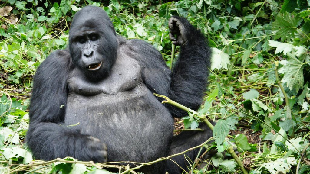 our-uganda-safari-adventure-gorilla