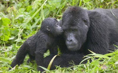 10-Day Wildlife, Chimpanzee and Gorilla Trekking Safari