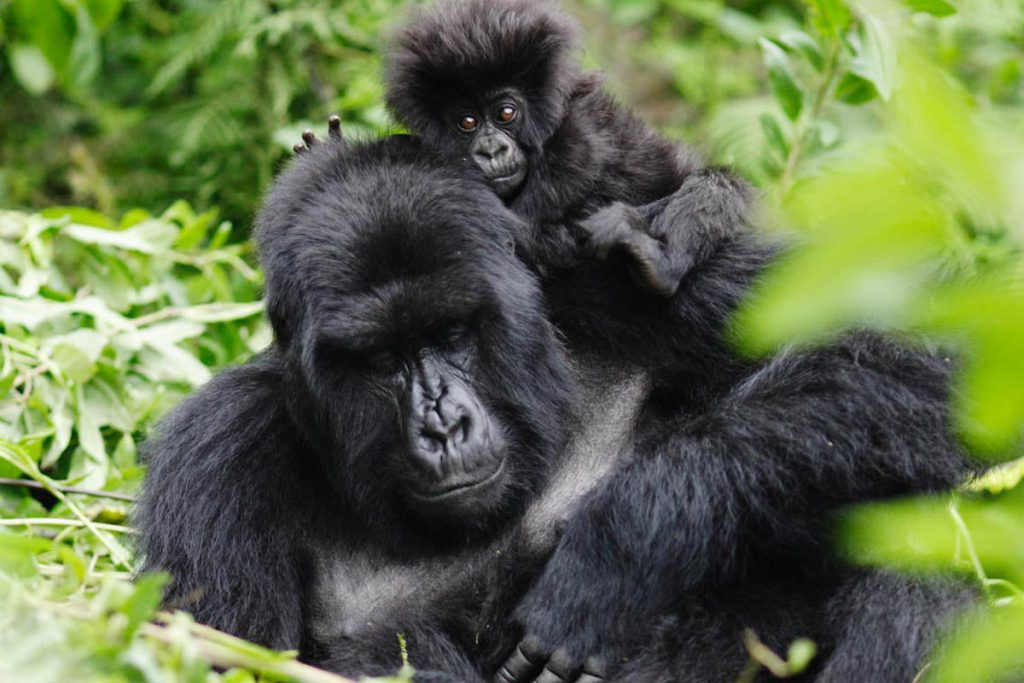 gorilla-mother-baby