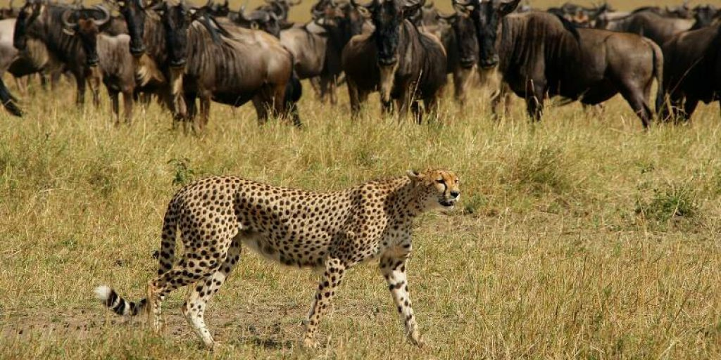 epc_-_cheetah_wildebeest_-_michael_poliza_photography_2